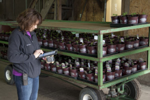 Just-potted plants are logged into Blooming Nursery's inventory management system by Maria de la Luz Godinez, transplanting foreperson. All inventory is entered into the system on the same day it is created directly by the person in charge of the work. Photo by Peter Szymczak.